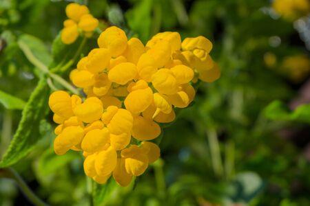 calceolaria: yellow flower, Calceolaria Pocket Slipper flower blossom in green garden background.