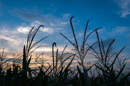 gloaming: silhouette corn field meadow farm and blue sky in twilight.