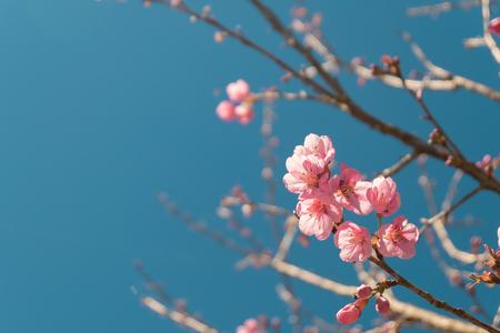 Schöne Rosa Weiße Kirschblüte Blumen Baum Zweig Im Garten Mit Blauem ...