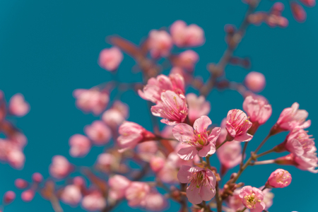 beautiful Pink white Cherry blossom flowers tree branch in garden with blue sky, Wild Himalayan Cherry, Sakura. natural winter spring background. retro vintage hipster color. Stock Photo
