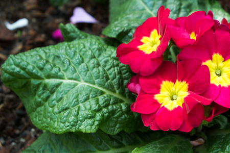 colorful red yellow flowers with green leaves in ornamental garden. bright day light. beautiful natural blooming primula acaulis in spring summer.