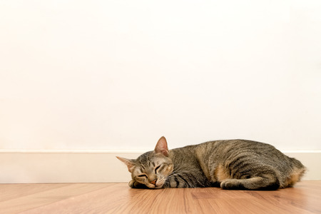 white wood floor: Cat sleeping on wooden floor with white blank space wall. adorable cat rest close eyes at Home.