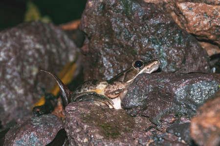 Leopard frog in rocky stream 写真素材