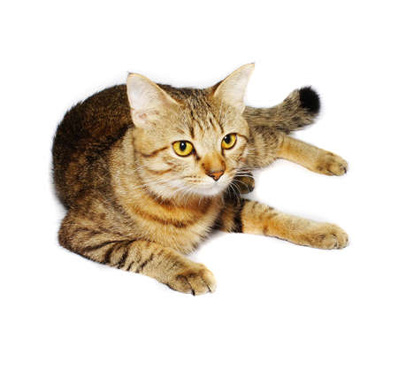 Tabby cat lying on white background             photo