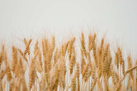 ears of wheat and barley photo
