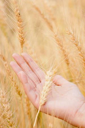 ears of wheat and barley