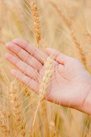 ears of wheat and barley Stock Photo - 12723335