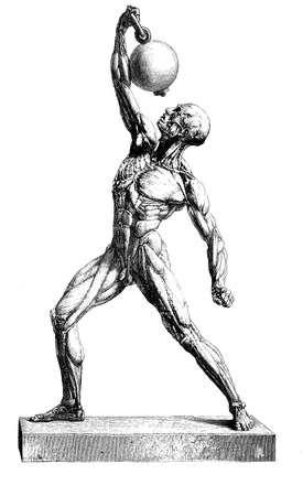musculature: Anatomy  human musculature