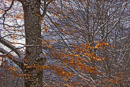 autumnal tree with red leaves and first snow photo