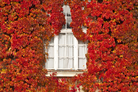 Autumn red ivy leaves cover completely the outside wall framing a white window photo