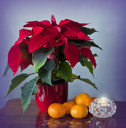 A very simple Christmas: a beautiful poinsettia, traditional mandarins and a small candle in a glass and many small golden snowflakes on the wooden table photo