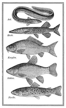moray: Old fish chart with variety of eatable fishes Stock Photo