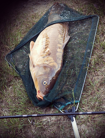 5 Kilo carp fished at the lake with the fishing rod and transported by net to shore. photo
