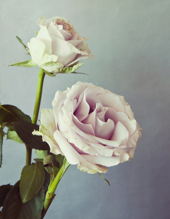 two romantic pink roses, with desaturated vintage photo