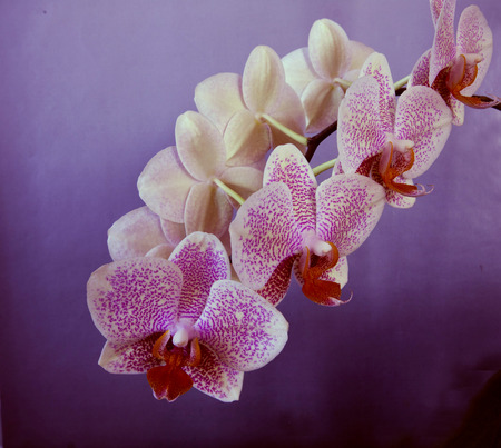 bloomy: A beautiful bloomy branch of Phalaenopsis orchid on a purple background Stock Photo