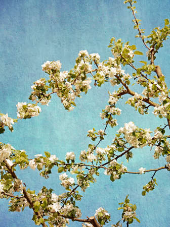 almond bud: Blue and white spring background: apple tree branches with blossoms on a blue sky Stock Photo