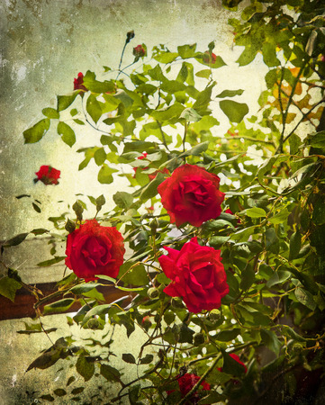 rambling: Rambling red roses textured like an old postcard