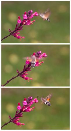 audible: Macroglossum stellatarum is an insect quite similar to a hummingbird, it is named also Hummingbird Hawk-moth or Hummingmoth.It flies during the day with an audible humming noise. Stock Photo