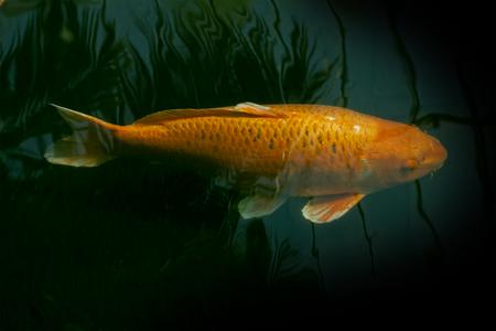 ornamental fish: I pesci ornamentali in un laghetto verde scuro con riflessi