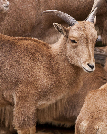 wild goat: Esemplar Yound de Alpine Ibex, cabra salvaje Foto de archivo