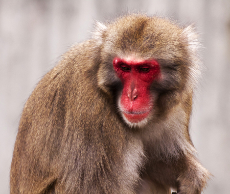 hominid: Japanese macaque close up