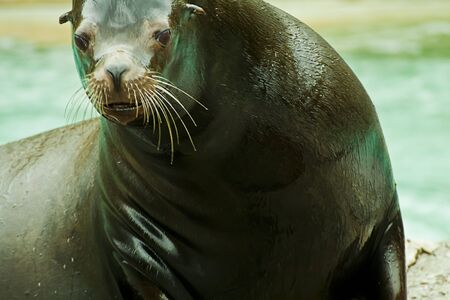 out of water: Sea lion out of water