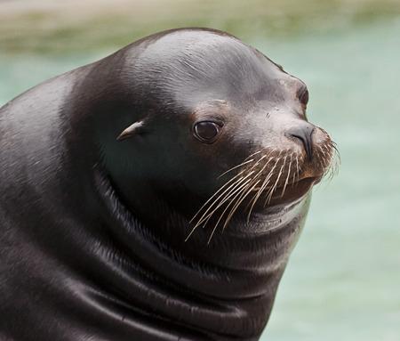 crouched: young sea lion portrait