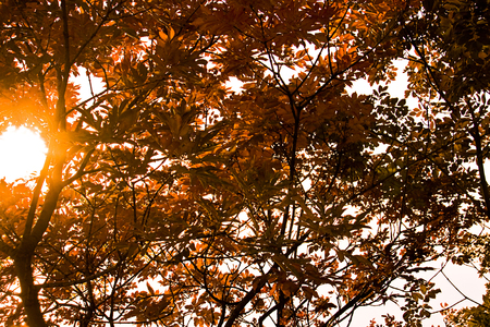 japanese maple tree: Backlight of Japanese maple tree with red leaves on autumn with sun rays through leaves
