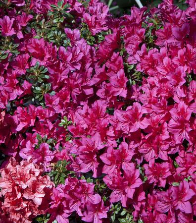 lasting: Beautiful purple azalea flowers.Azaleas bloom in spring, their flowers often lasting several weeks