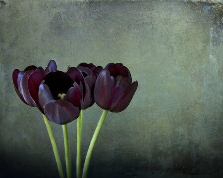 tulipan: Inter, trzy czarne tulipany z fioletowymi refleksami na ciemnym tle grunge
