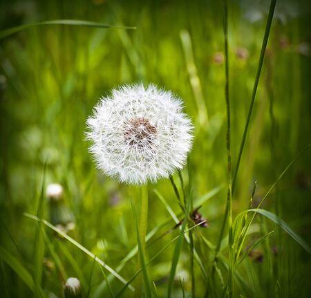 white feather: fruta dandelium madura en campo verde