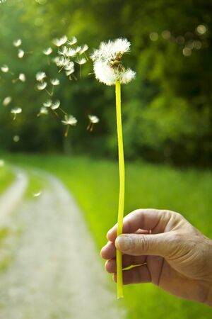 Blowing the seeds from a dandelion globe picked in a green field.  You are lucky  or loved if you can blow the seeds off in one blow.