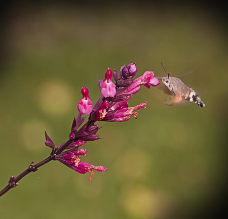 audible: It is not a bird, Macroglossum stellatarum is an insect quite similar to a hummingbird; it is named also Hummingbird Hawk-moth or Hummingmoth.It flies during the day with an audible humming noise feeding on flowers Editorial