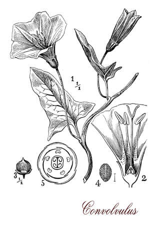 morphology: Vintage print describing convolvulus flowering plant botanical morphology:  leaves spirally arranged and trumpet-shaped flowers