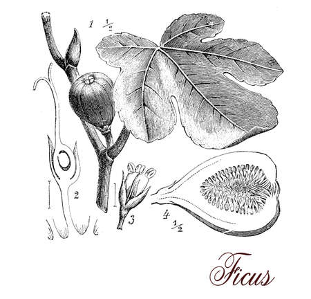 morphology: Vintage print describing fig tree botanical morphology: tri-veined leaves, aerial roots, inflorescences (syconium) and edible fruits Stock Photo