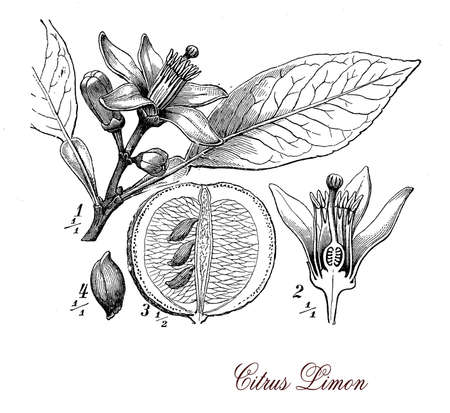 morphology: Vintage print describing lemon tree botanical morphology:  leaves, flowers and sour and juicy fruits full of citric acid