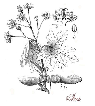 morphology: Vintage print describing maple tree botanical morphology:opposite palmate leaves,flowers and fruits (samaras) in distinctive pairs englobing one seed each