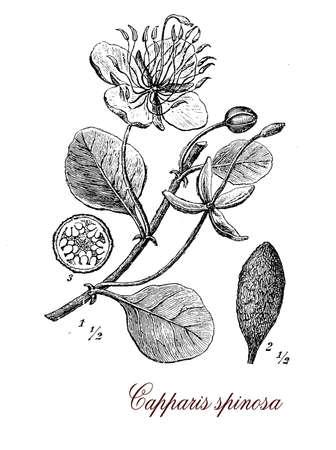 specie: Vintage print describing Caper bush  botanical morphology:  alternate leaves, beautiful flowers and  fruits full of edible seeds.