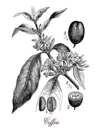 Vintage print describing Coffea (coffee plant)  botanical morphology:  leaves, flowers and berries containing 2 coffee beans each.