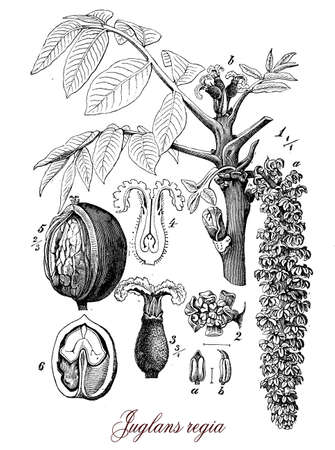 attaining: Vintage print describing walnut tree fruit and flower botanical morphology, large, deciduous tree attaining heights of 25�35 m, and a trunk up to 2 m diameter. The whole fruit, including the husk, falls in autumn; the seed is large, with a relatively thin