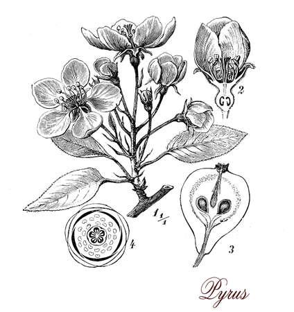dessin noir et blanc: print Vintage d�crivant poirier morphologie botanique: feuilles, fleurs 5 p�tales et fruits juteux Banque d'images