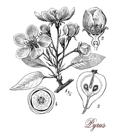 pear tree: Vintage print describing pear tree botanical morphology:  leaves, 5 petal flowers and juicy fruits Stock Photo