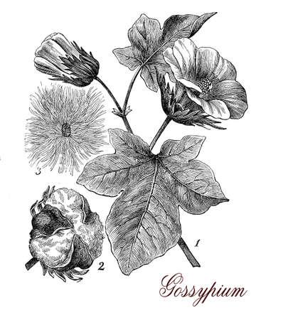 hojas antiguas: de impresión describiendo planta de algodón de la vendimia (Gossypium) morfología botánica: hojas, flores y semillas en una cápsula rodeada de grapas utilizadas para tejer.