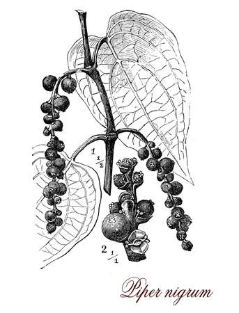 black pepper: Vintage print describing Black pepper botanical morphology:perennial plant with dark red drupes containing a single seed. The plant is cultivated for the fruit used dried as a spice and seasoning