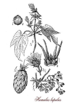 engravings: Vintage print describing Hop (humulus lupulus) botanical morphology:flowering perennial plant with flower cones widely cultivated for use by the brewing industry