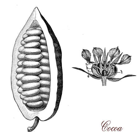 morphology: Vintage print describing cocoa bean and flower botanical morphology,its seeds, cocoa beans, are used to make cocoa mass, cocoa powder, and chocolate
