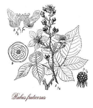 edible: Vintage print describing the blackberry perennial plant morphology:palmated leaves,very sharp prickles, flowers and fruits (berries), grows also in poor soil.