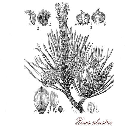 Vintage print describing scots pine (pinus sylvestris)  evergreen coniferous tree botanical morphology: it grows up to 35mt. in height , its lifespan is normally 150�300 years , leaves are green-blue needles, fruits are yellow-brown cones.