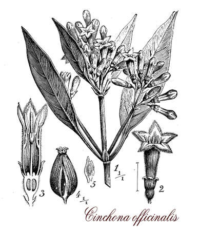 muscle relaxant: Vintage print describing chincona plant botanical morphology: it is a medicinal plant source for quinine, native of Andean forest. Cinchona as opposite lanceolate leaves, flowers are small in panicles and the fruit is a capsule with seeds.