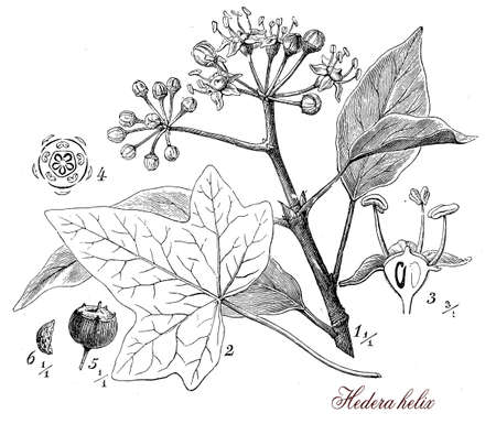 umbel: Vintage print describing common ivy  evergreen climbing plant botanical morphology: it climbs by means of aerial rootlets, has alternate leaves, flower grow in umbels and the purple-black fruits are poisonous. Stock Photo